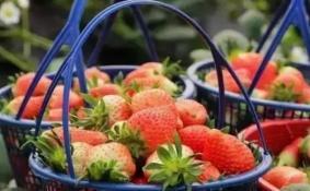 2018年广州周边哪里可以摘草莓+价格表