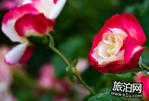 适合大面积绿化的花图片