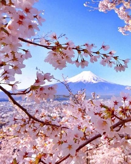 2018富士山樱花照片/图片(图文)