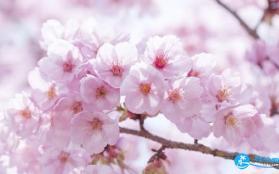 2018长沙芒果樱花节门票+时间+地点