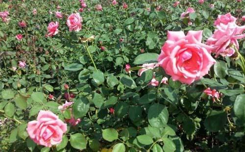 天府玫瑰谷什么时候去最好 几月份去