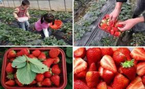 2018重庆哪里可以摘草莓(地点+路线)