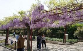 上海嘉定紫藤园几月开花+地址+游玩攻略
