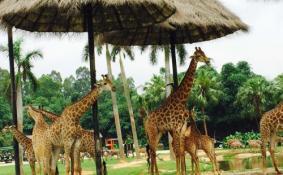 长隆野生动物园租车多少钱 广州长隆野生动物园住宿攻略