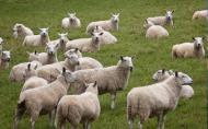 羊的哪个部位最好吃 羊的哪个部位可以吃