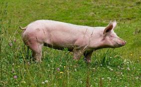 2018年8月去沈阳还能吃猪肉吗 沈阳非洲猪瘟疫情严重吗