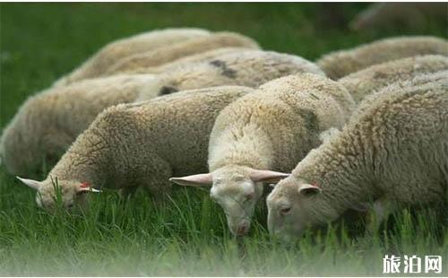 新疆、内蒙、青海、甘肃哪里的羊肉最好吃呢