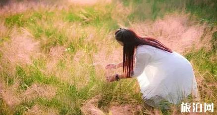 广州粉黛乱子草具体在哪可以看见