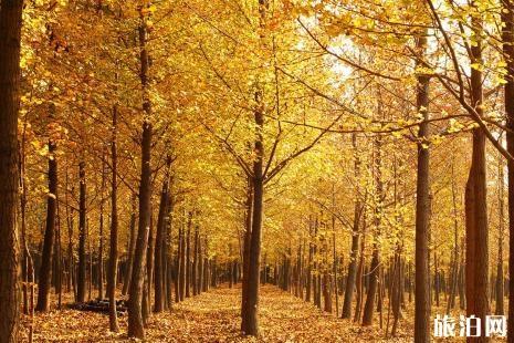 北京哪里银杏适合拍照 银杏风景照怎么拍
