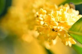上海哪里桂花最多 上海去哪看桂花