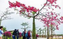在我国南方城市,广东广西等地生活着一种在冬季盛开的花树,它就是异木棉,现在正好处在盛花期,美丽异木棉,别名美人树,树身像一个