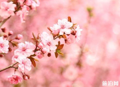 拈花湾樱花开了吗 2019无锡哪里看樱花