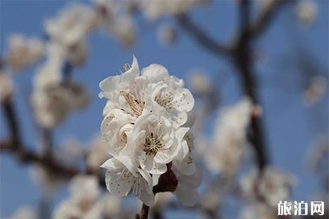 2019济南张夏杏花节攻略 时间+地址+活动内容