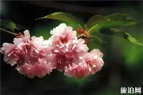 上海樱花节赏樱全攻略 附活动主题安排表