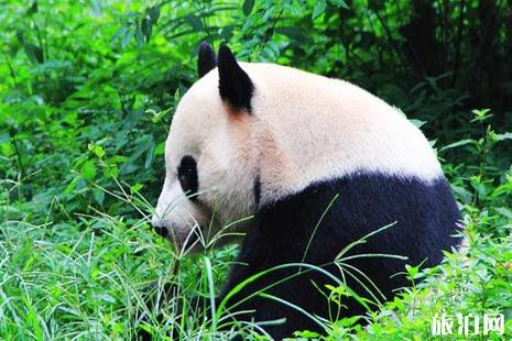 成都大熊猫繁育研究基地 成都大熊猫繁育研究基地门票 成都大熊猫繁育研究基地游玩攻略