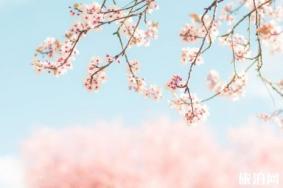 上海哪里的樱花树大 上海哪里可以看樱花