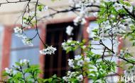 武漢大學 武漢大學櫻花結束時間 武漢大學旅游攻略