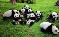 成都大熊貓繁育研究基地門票 大熊貓基地旅游攻略
