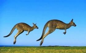 澳大利亚可以吃袋鼠吗 吃袋鼠肉违法吗