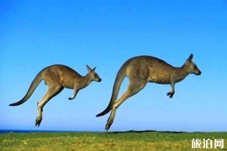 澳大利亞可以吃袋鼠嗎 吃袋鼠肉違法嗎