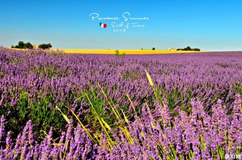 2019普罗旺斯薰衣草花期是几月份