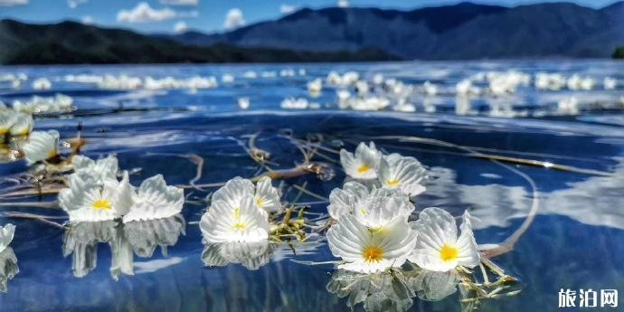 瀘沽湖海藻花幾月才開 瀘沽湖怎么游玩