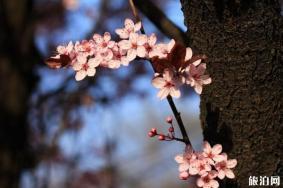 拍摄樱花的小技巧 构图+取景