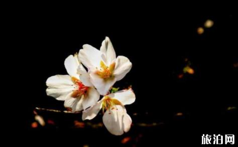 拍攝櫻花的小技巧 構圖+取景