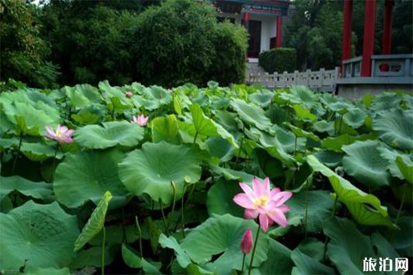 2019大明湖第三十三届荷花艺术节7月15日到8月14日