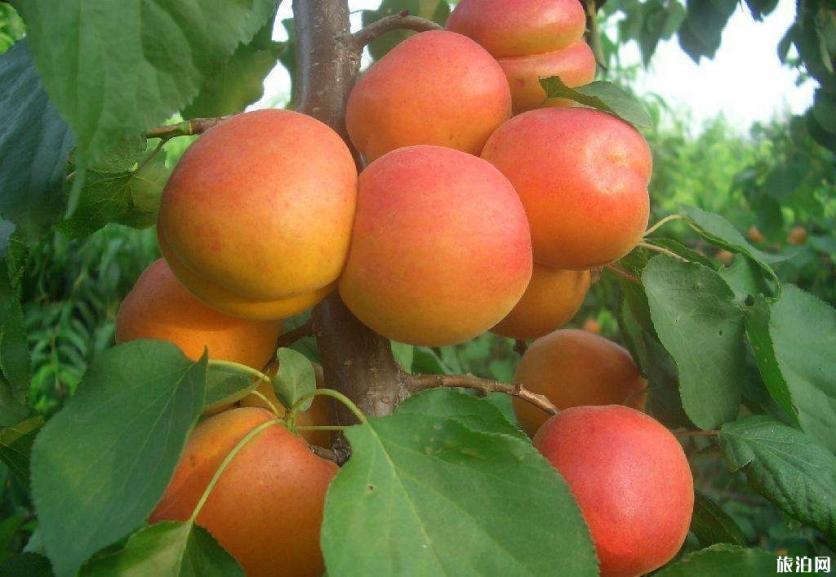 2019洛陽水果采摘園在哪+采摘價格+路線