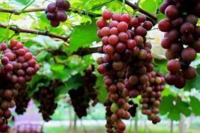 上海松江有哪些采摘葡萄的好去处