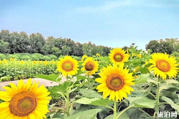 成都天府芙蓉园向日葵在哪 怎么去