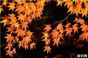 东京红叶观赏时间