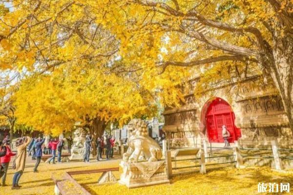 真觉寺的银杏树什么时候黄 真觉寺看银杏攻略