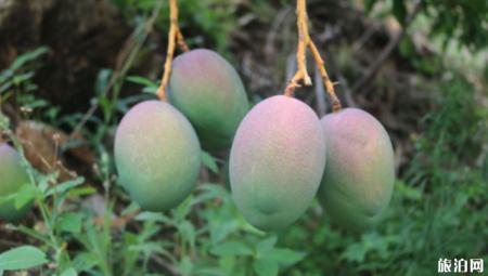 四川攀枝花芒果什么时候成熟 攀枝花芒果基地在哪里