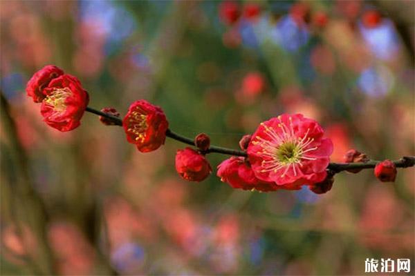 武漢花市場在哪里批發 附2020武漢春節花市時間+地點