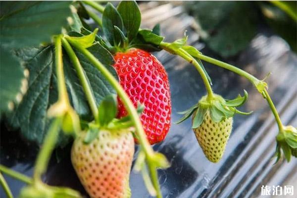 银川冬季草莓采摘园推荐