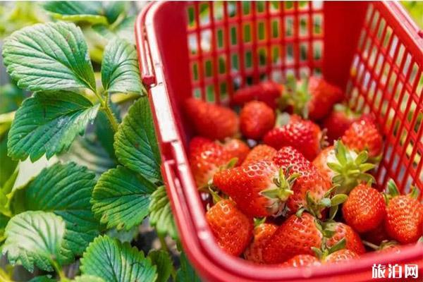 2020煙臺天崮山冬季草莓采摘攻略 附價格