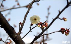 上海梅花節2020最佳觀賞時間 上海梅花開了