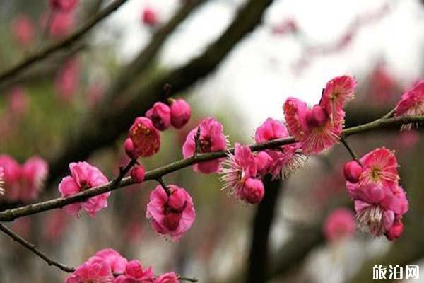 合肥六大賞梅勝地 合肥哪里可以觀賞梅花