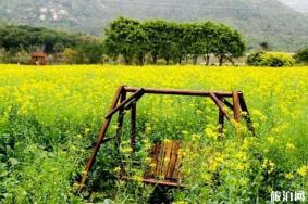 深圳觀瀾版畫村油菜花觀賞期是多少