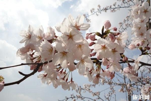 上海哪里可以看樱花