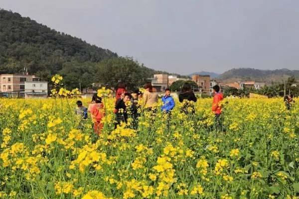 肇庆周边观赏油菜花地方推荐