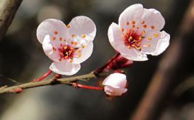 重庆樱花什么时候