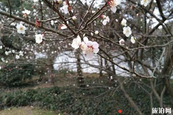 杭州灵峰梅林梅花有哪些品种 梅花观赏指南
