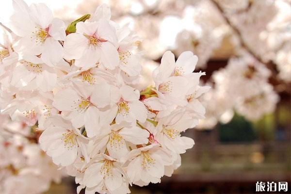 南京哪里看樱花最好