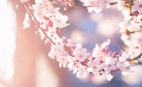 广州观赏樱花的地