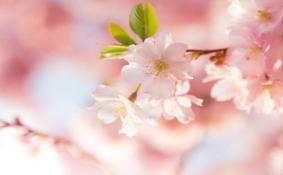 北京看櫻花最好的地方