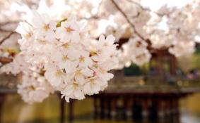 天津看樱花哪里比