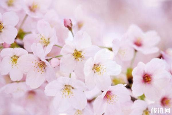 鄭州哪里可以賞櫻花 地點-交通